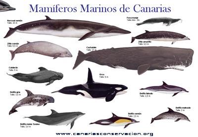 Las espécies de Mamíferos Marinos de Canarias via Canarias Conservación